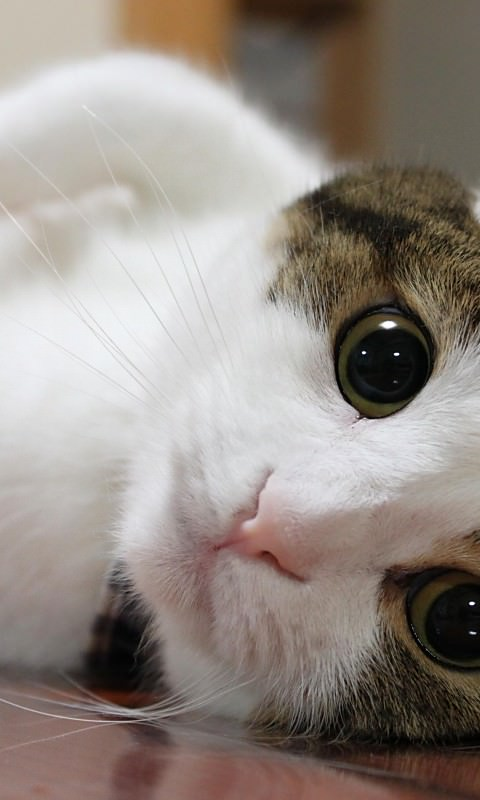 Images For Android 480800 Images - スマホ用猫の壁紙(Android)#1 ...