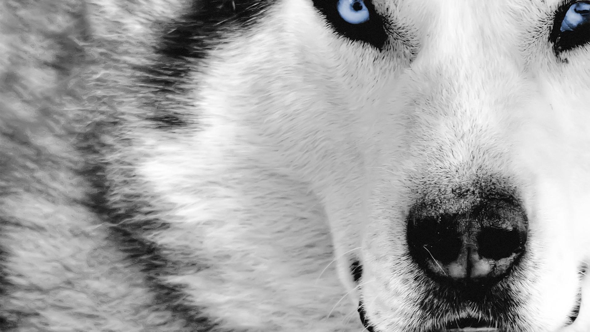 狼のドアップ