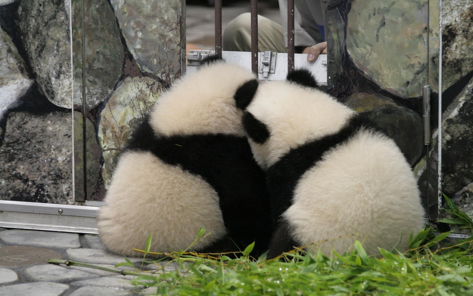寄り添うパンダの後ろ姿がかわいい