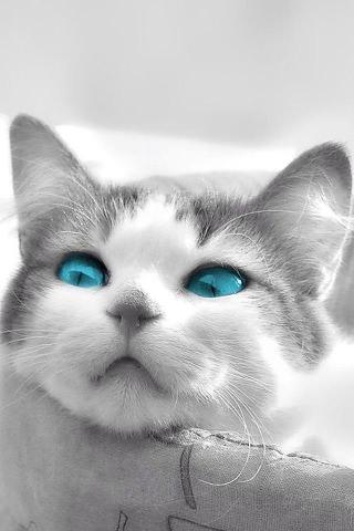 白い猫のスマホ用壁紙(iPhone用/320×480)