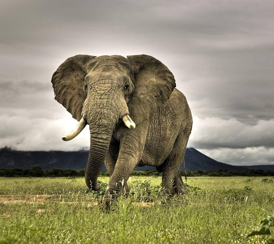 象のスマホ用壁紙(Android用/960×854)