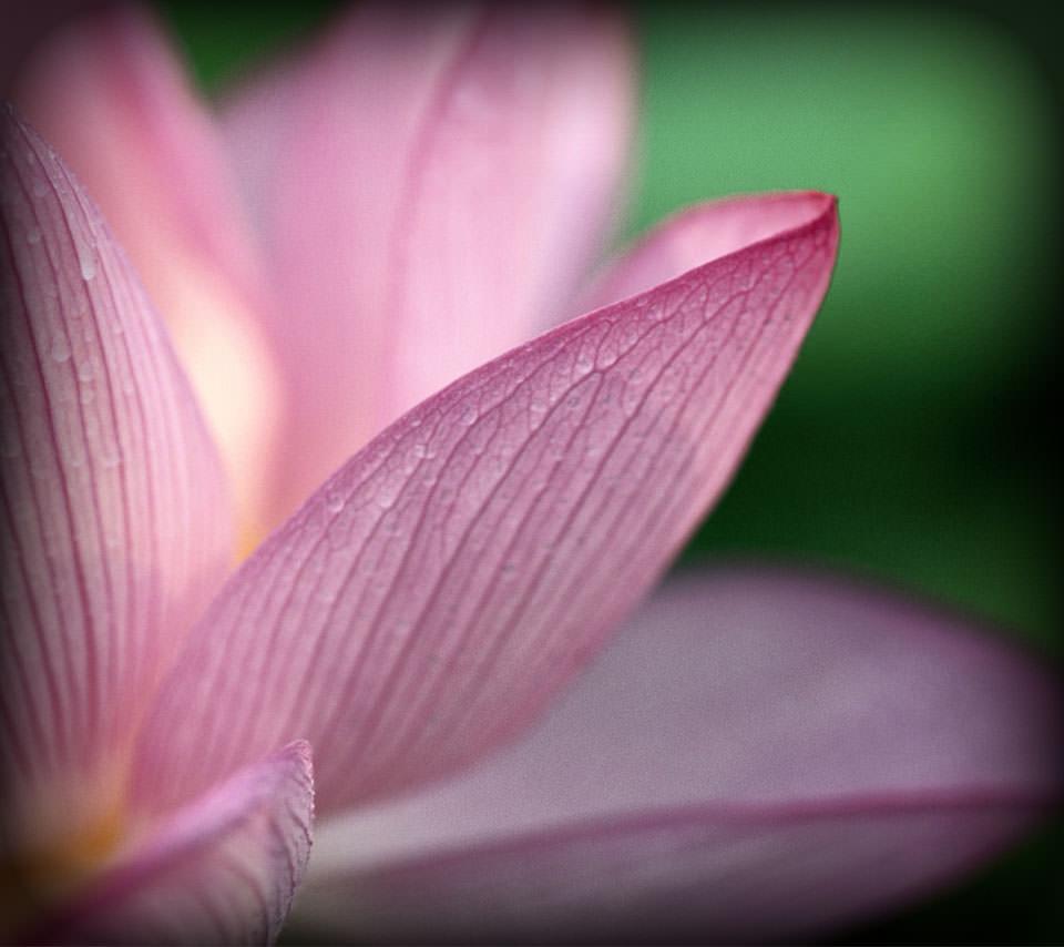 蓮の花のスマホ用壁紙(Android用/960×854)