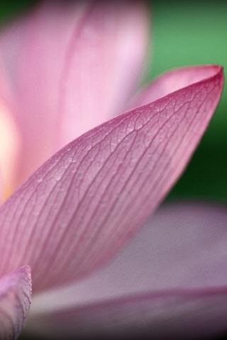 夏の蓮のスマホ用壁紙(iPhone用/320×480)
