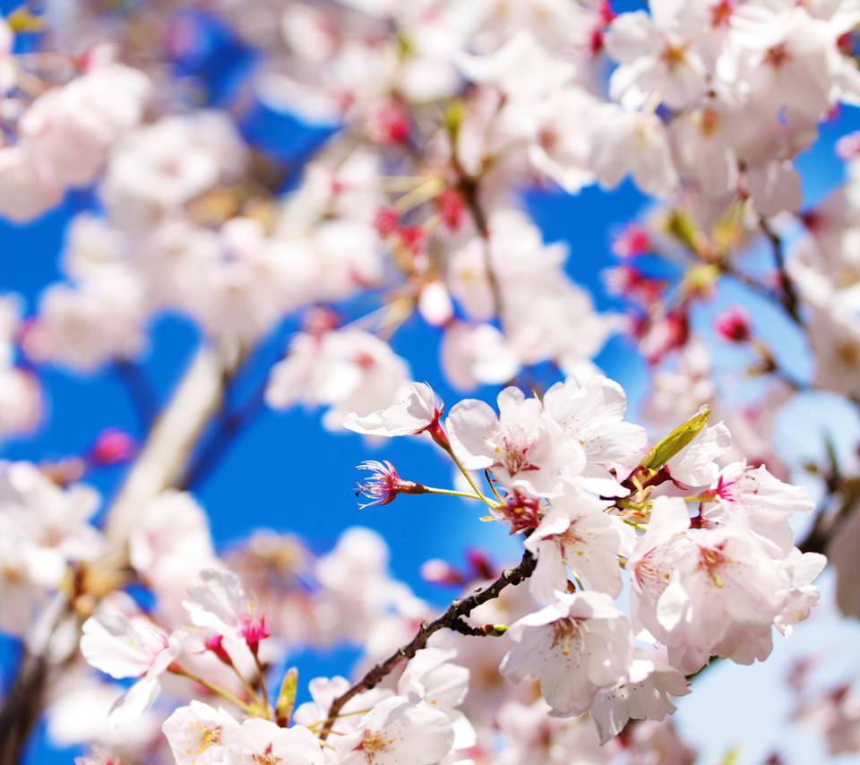 桜の季節のスマホ用壁紙(Android用/960×854)