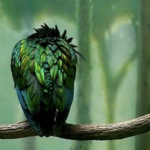 極楽鳥の壁紙(iPad3用/2048×2048)