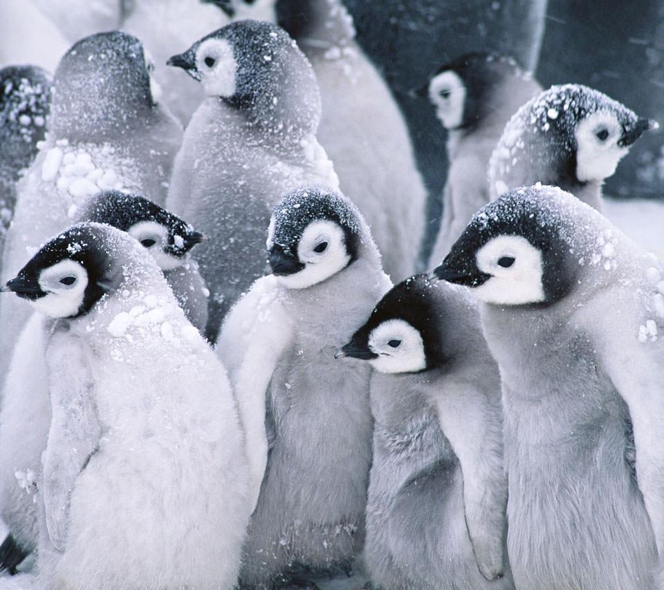 かわいいペンギン スマホ用壁紙(Android用/960×854)