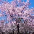 高画質な桜 スマホ用壁紙(Android/960×854)