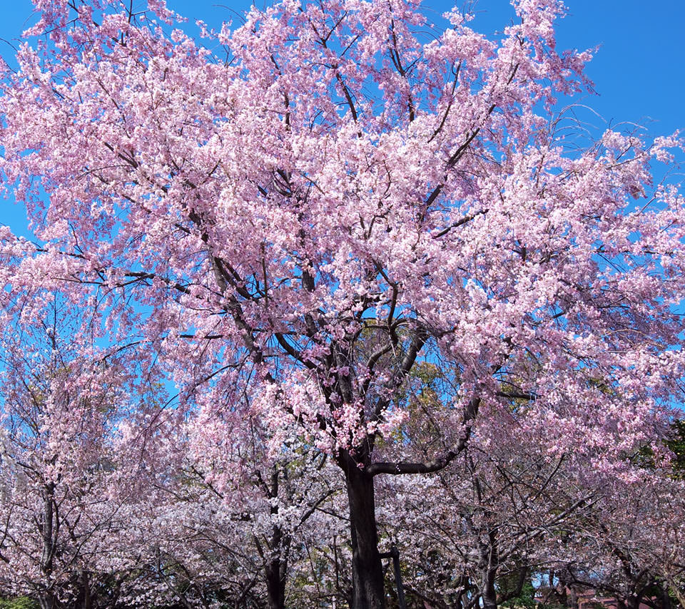 高画質な桜 スマホ用壁紙 Android 960 854 Wallpaperbox