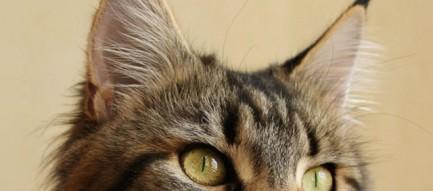 凛々しい猫 iPhone5 スマホ用壁紙