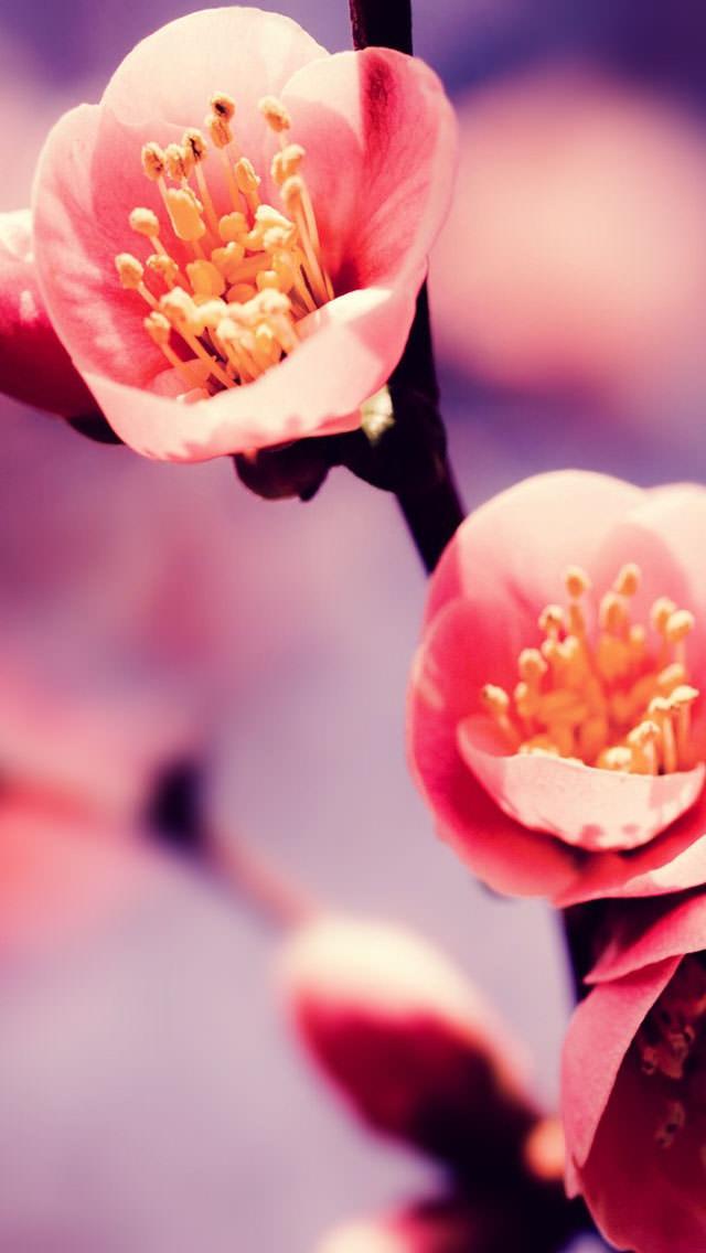 梅の花 iPhone5 スマホ用壁紙