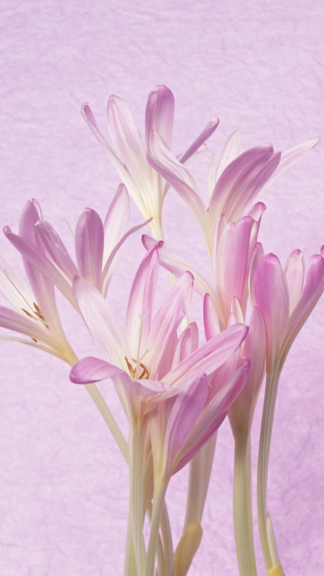 ピンクの花 iPhone5 スマホ用壁紙