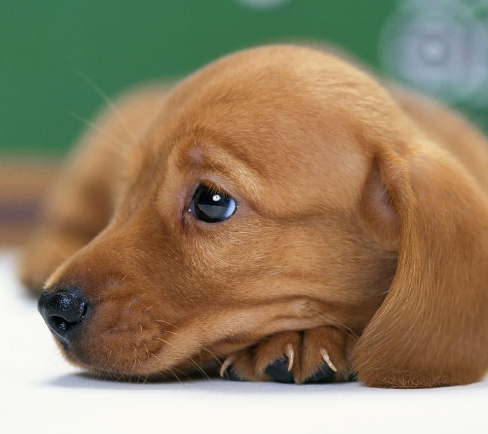 かわいい犬 Androidスマホ用壁紙 Wallpaperbox
