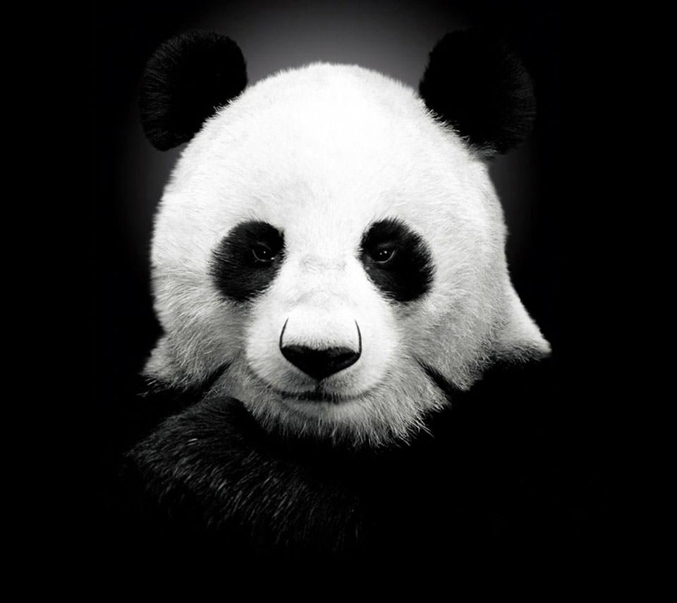 ジャイアントパンダの画像 p1_30