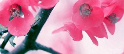 かわいい梅の花 iPhone5 スマホ用壁紙