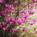 木蓮の花 Androidスマホ用壁紙