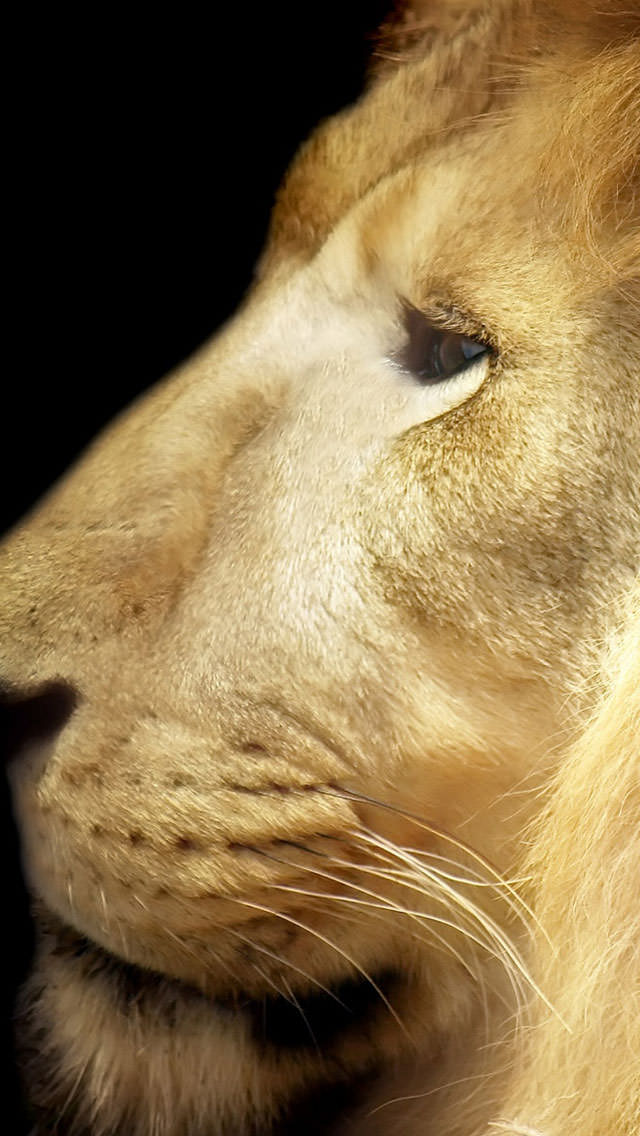 LION iPhone5 スマホ用壁紙