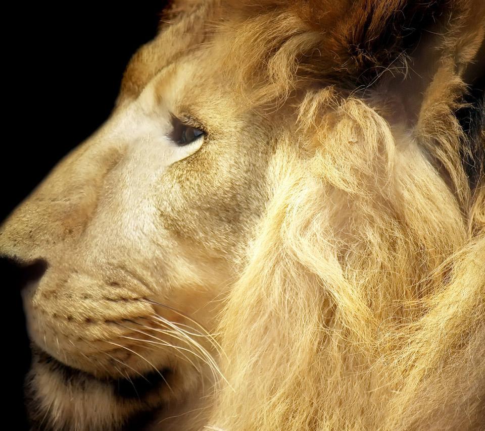 百獣の王 ライオン Androidスマホ用壁紙
