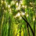 綺麗な竹林 iPhone5 スマホ用壁紙