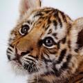 虎の赤ちゃん Androidスマホ用壁紙