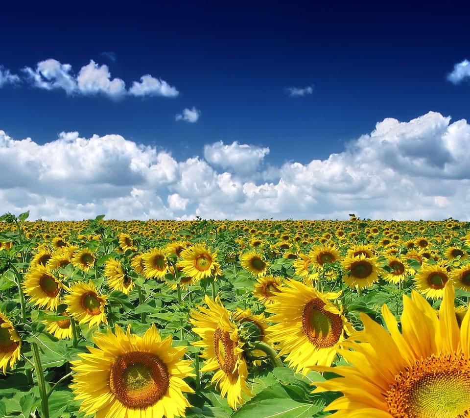 咲き乱れる向日葵 Androidスマホ壁紙