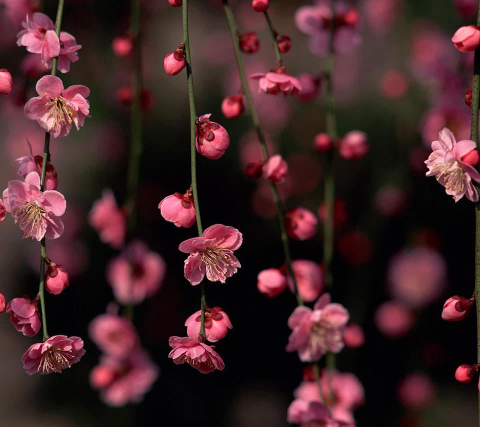 梅の花 Androidスマホ壁紙