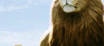 雄のライオン Androidスマホ壁紙