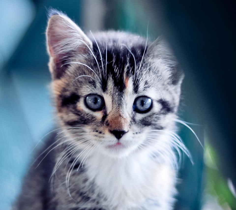 かわいすぎる猫 Androidスマホ壁紙