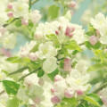 Cherry Blossom Androidスマホ壁紙