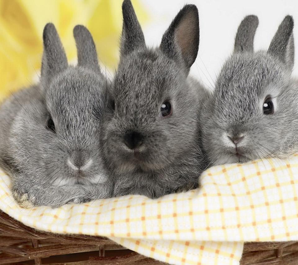 かわいい3匹のウサギ Androidスマホ壁紙