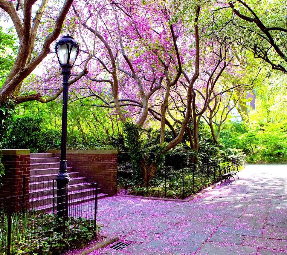 公園の桜 Androidスマホ壁紙