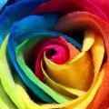 Rainbow Roseスマホ壁紙