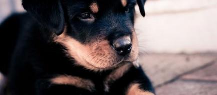 かわいい黒い子犬 スマホ壁紙