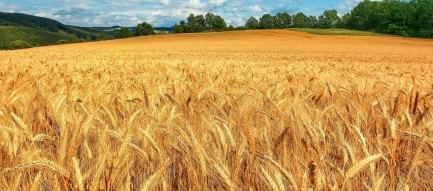 黄金のライ麦畑 スマホ用壁紙