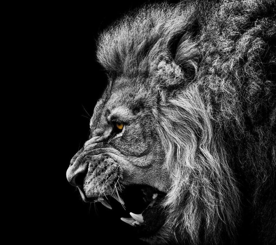 ライオンの横顔 スマホ壁紙