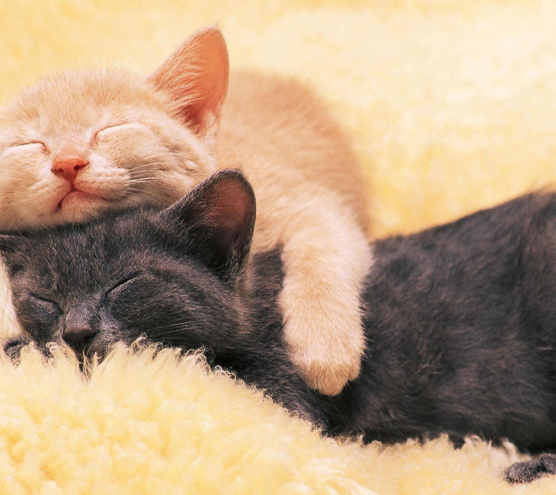 お昼寝する二匹の猫 Androidスマホ用壁紙