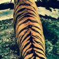 虎の背中 iPhone5 スマホ用壁紙