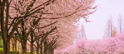 桜の花びらの絨毯 Android壁紙