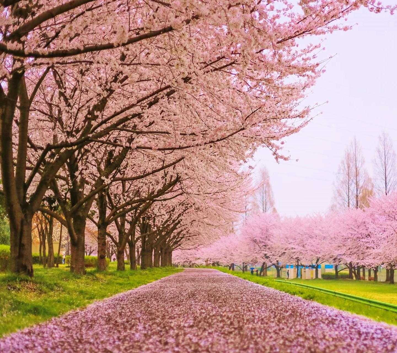 桜の画像 p1_17