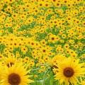 咲きほこる向日葵 iPhone5 スマホ用壁紙