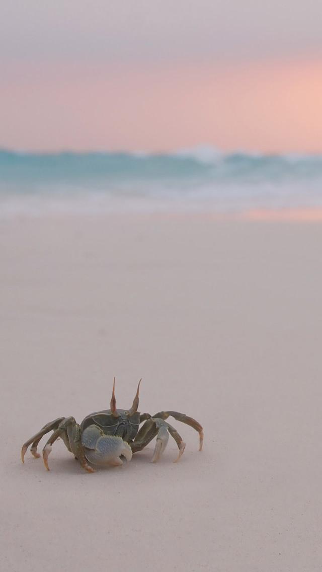 浜辺の蟹 iPhone5 スマホ用壁紙