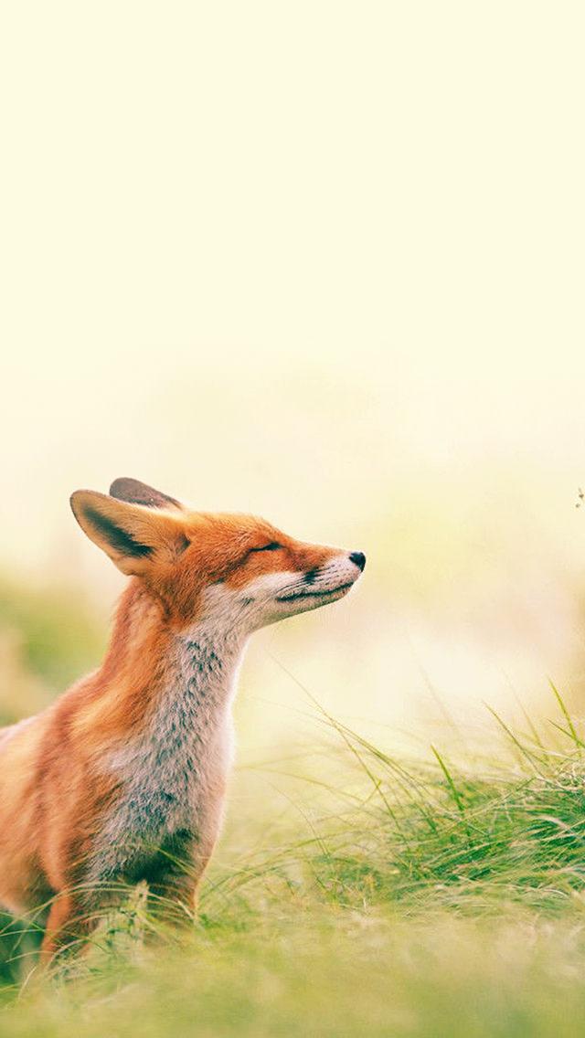 目を細めて遠くを見る狐 iPhone5 スマホ用壁紙