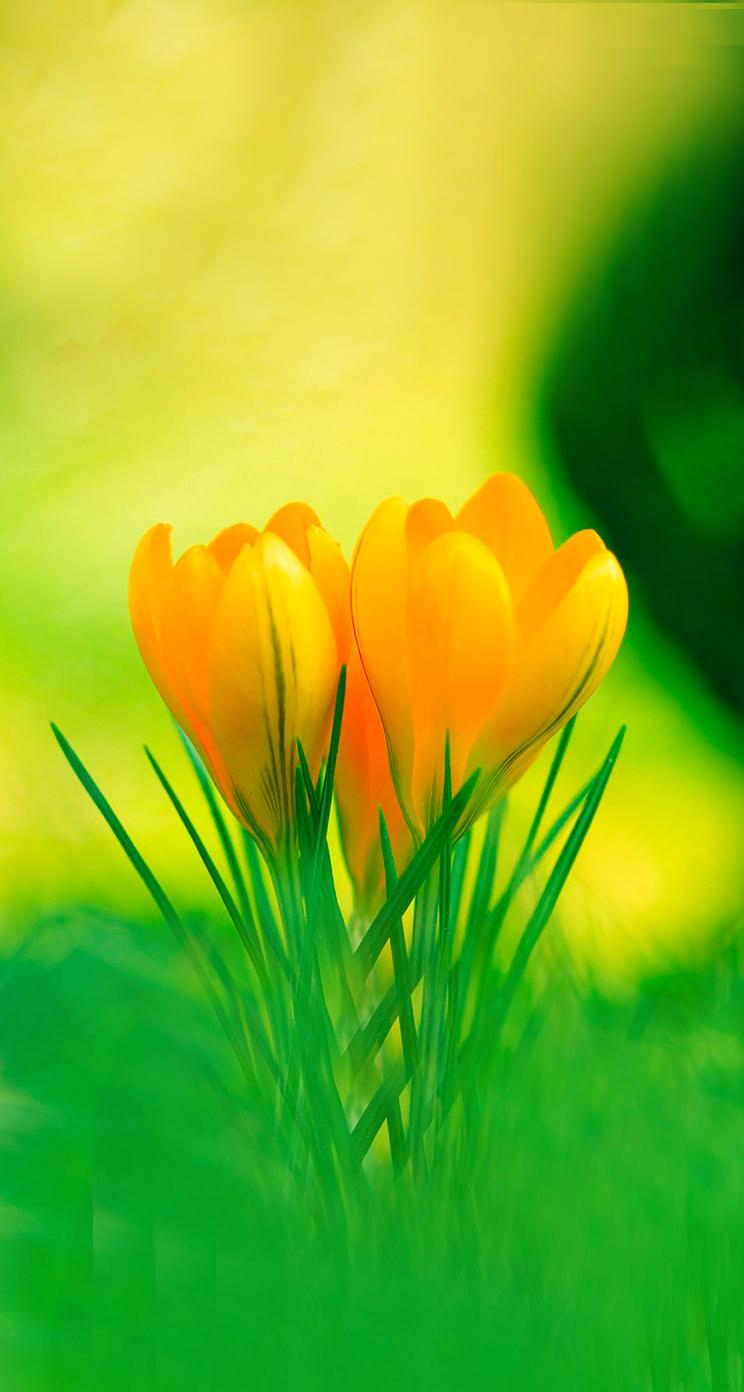 黄色いクロッカスの花 iPhone5 スマホ壁紙