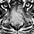 モノクロの虎 iPhone5 壁紙