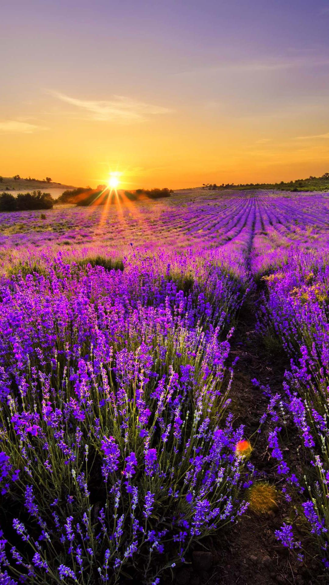 夕日とラベンダー畑 iPhone6 Plus 壁紙
