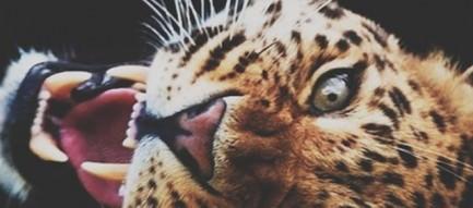 咆哮する豹 iPhone5壁紙