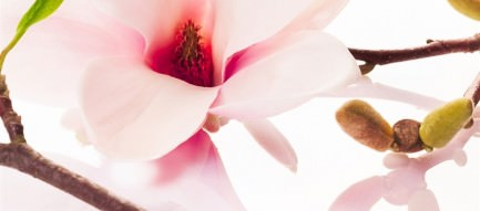 桜の花 iPhone6壁紙