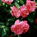 ピンクの花々 iPhone6 Plus壁紙
