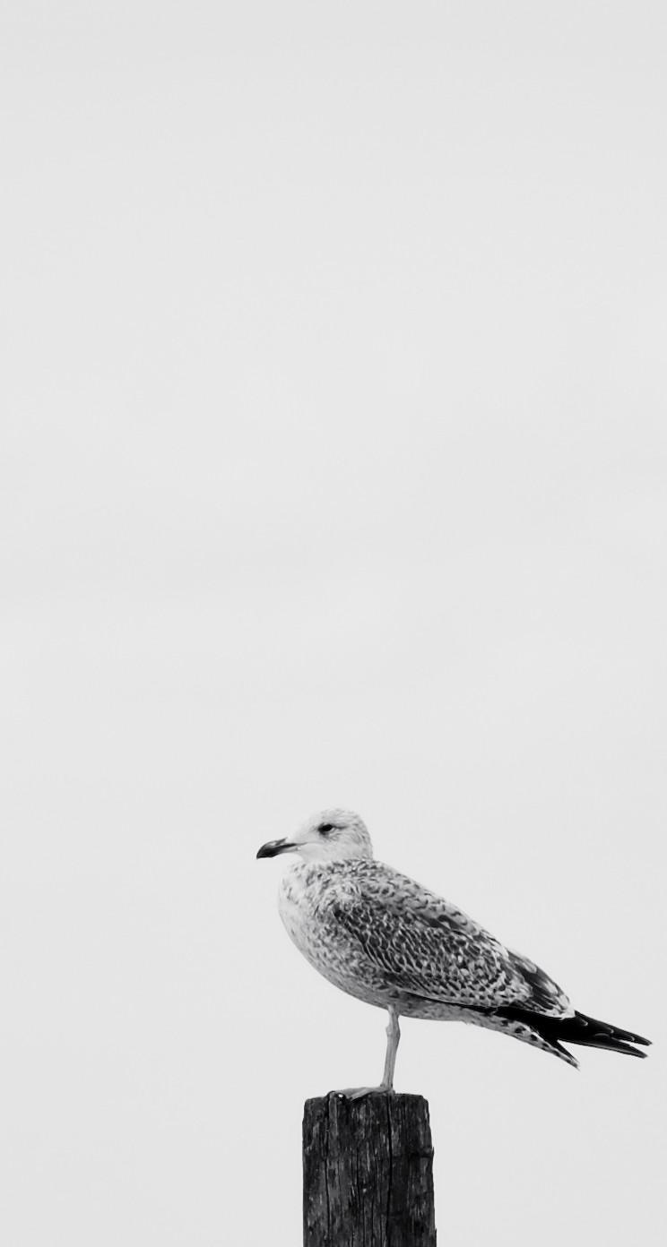 1羽のカモメ iPhone6壁紙