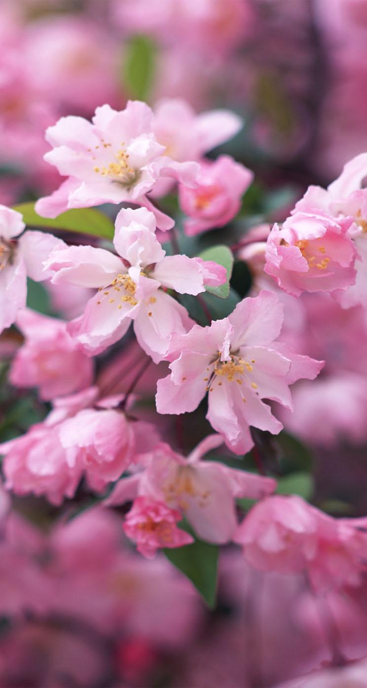 かわいいピンクの花 iPhone6壁紙