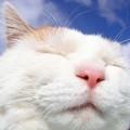 白猫のドアップ iPhone6壁紙